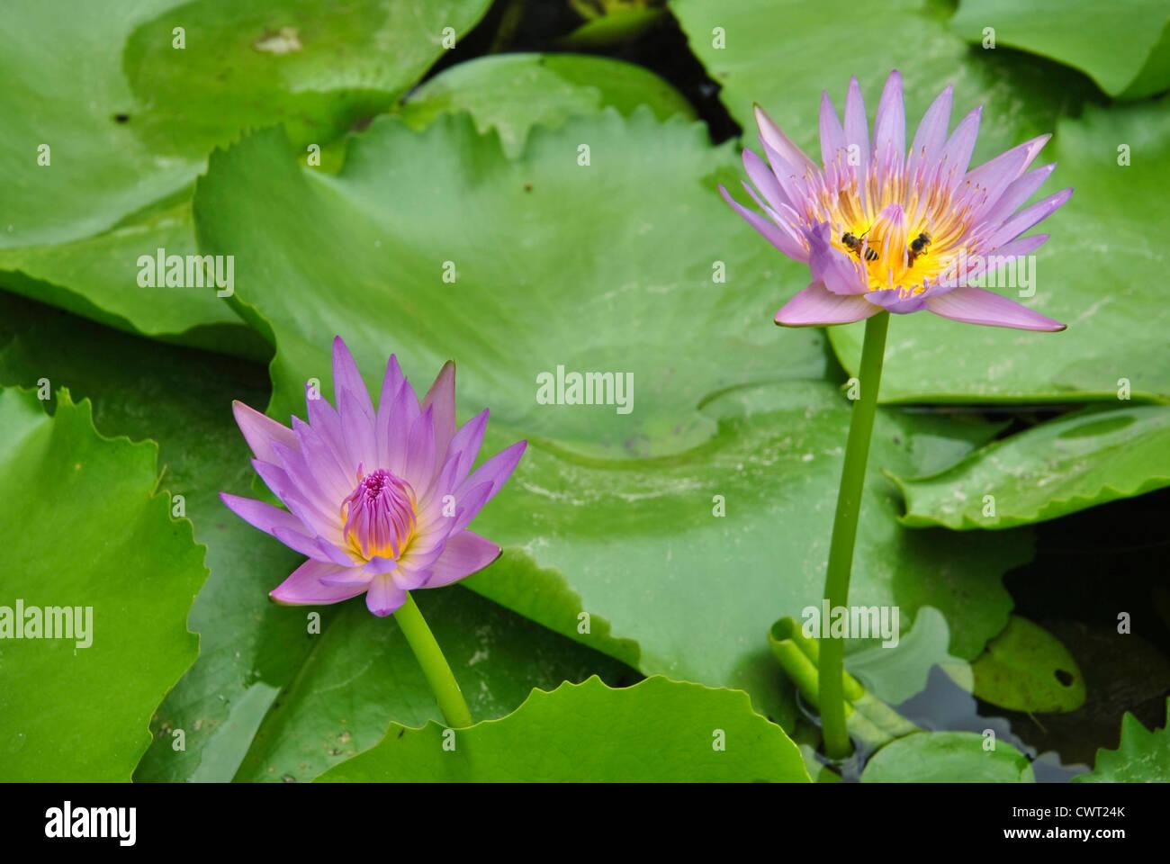 Lotus Flower Blossom Stock Photo 50315683 Alamy