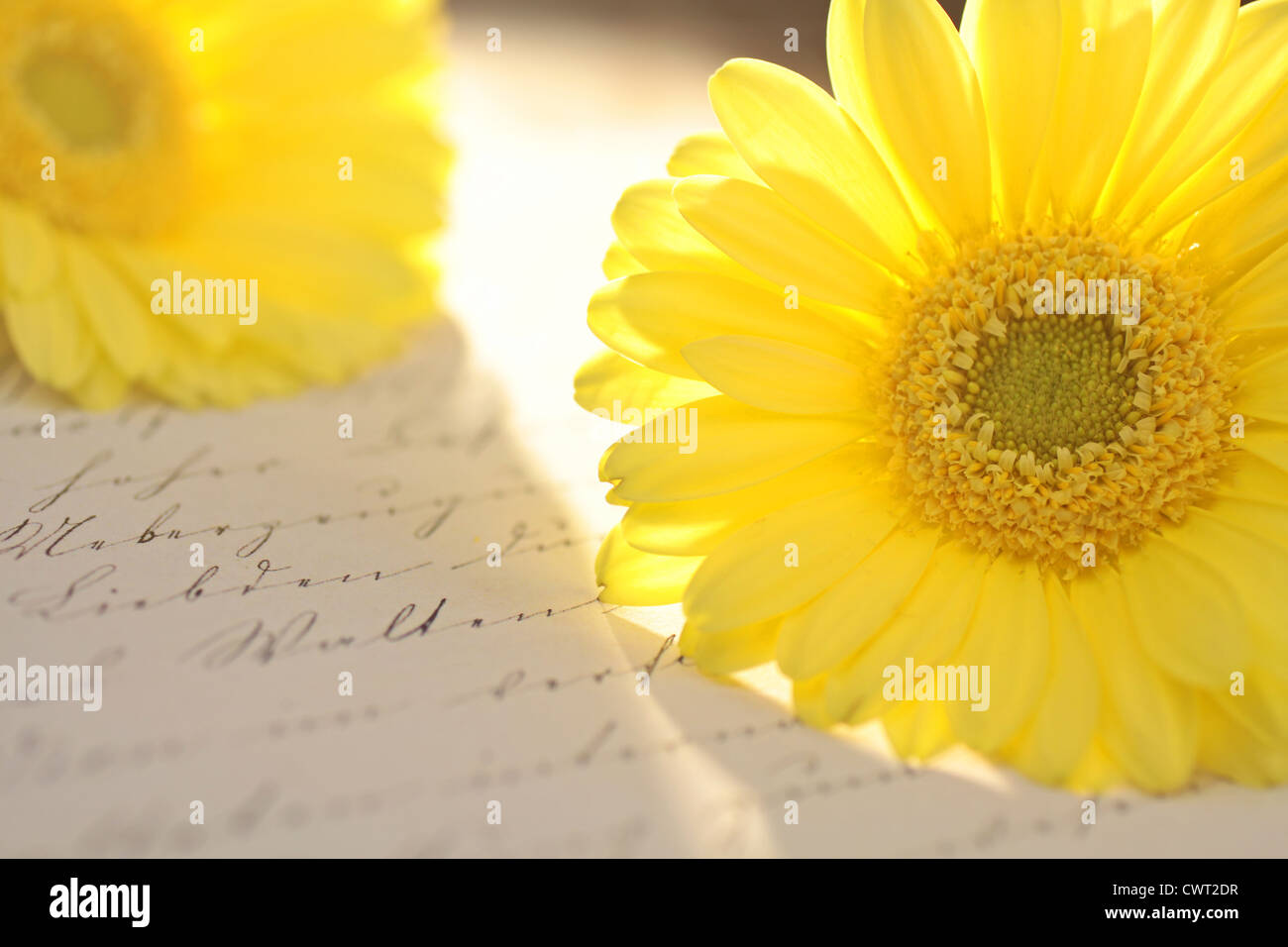 Close up of bright yellow flower and Old Letter - Stock Image