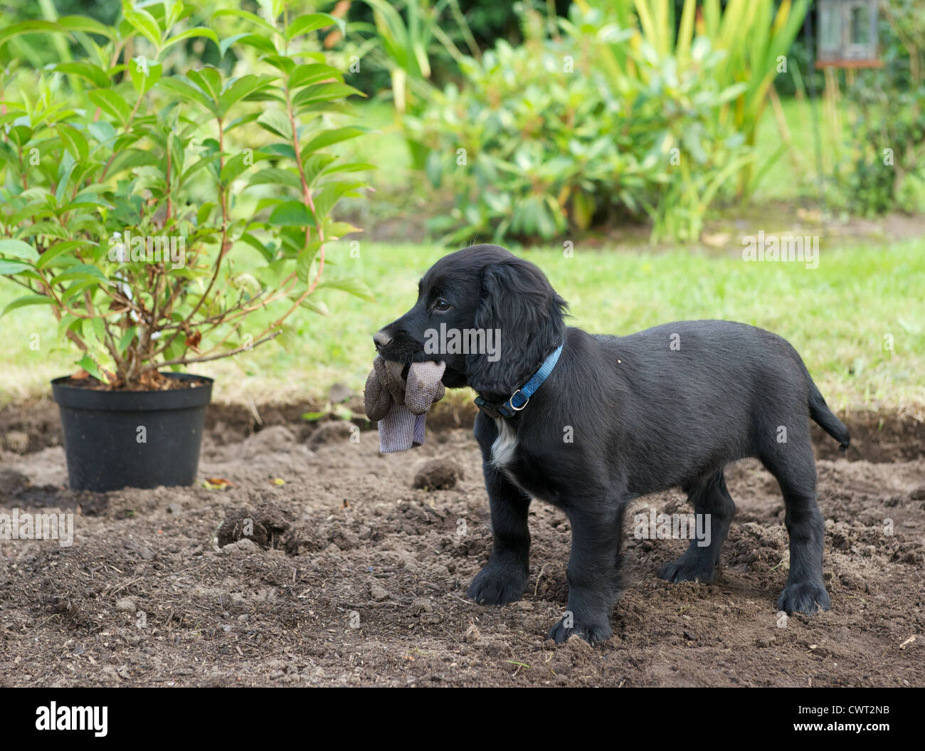 10 week old Working Cocker Spaniel puppy dog. Helping out with the gardening. - Stock Image