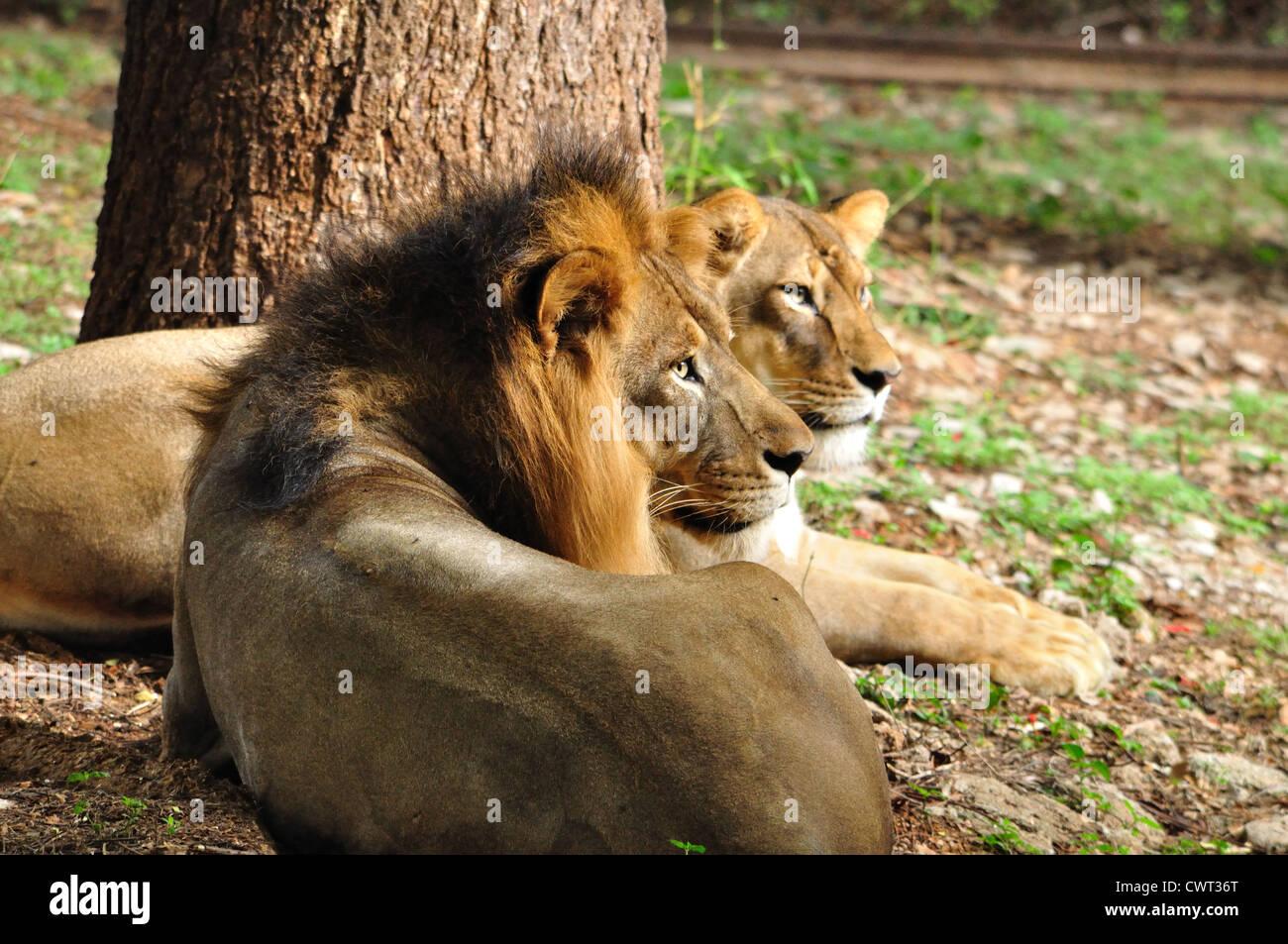 Indian Lions ( Panthera leo persica ) of Sasan Gir - Stock Image