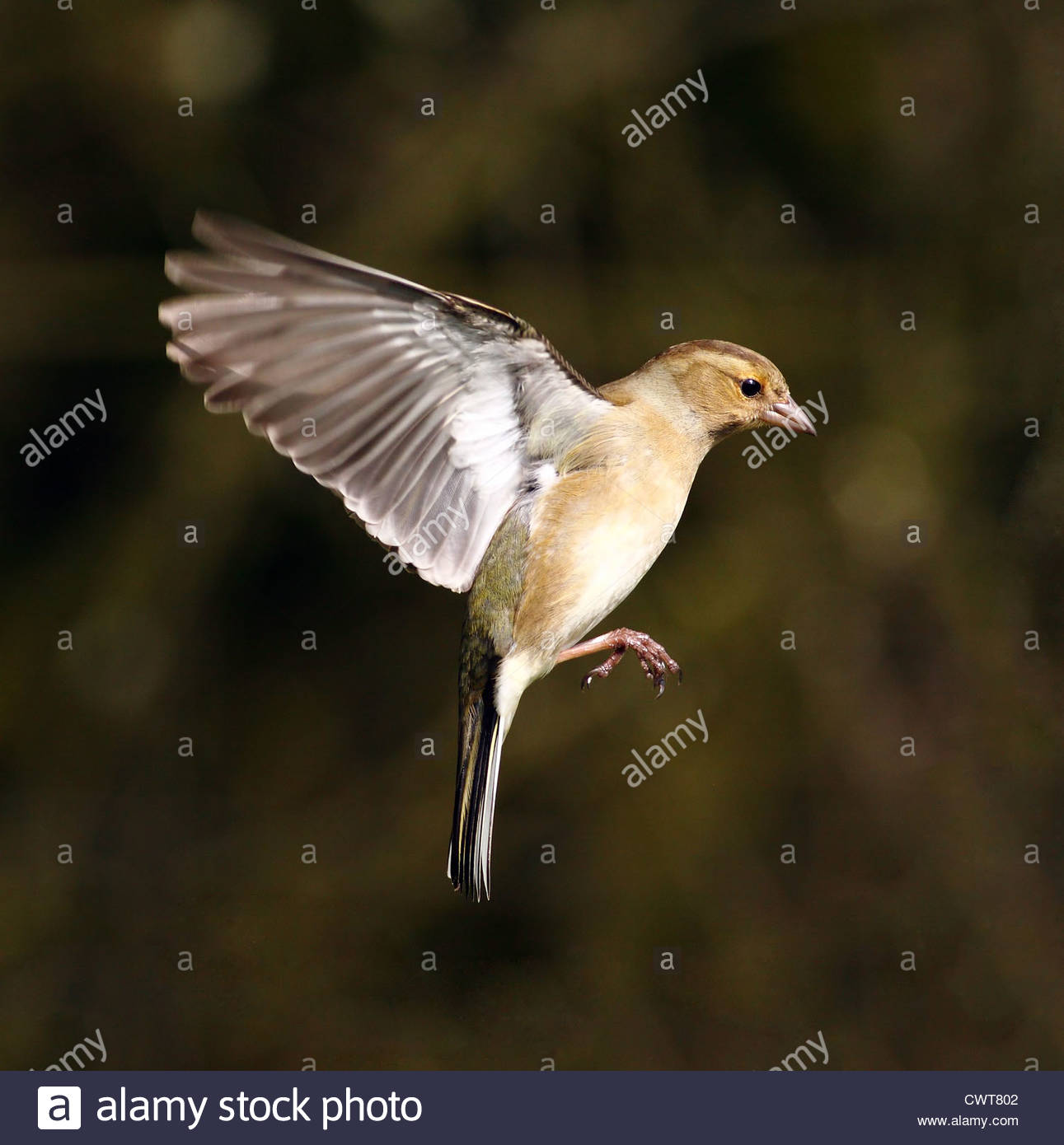 Chaffinch in flight - Stock Image