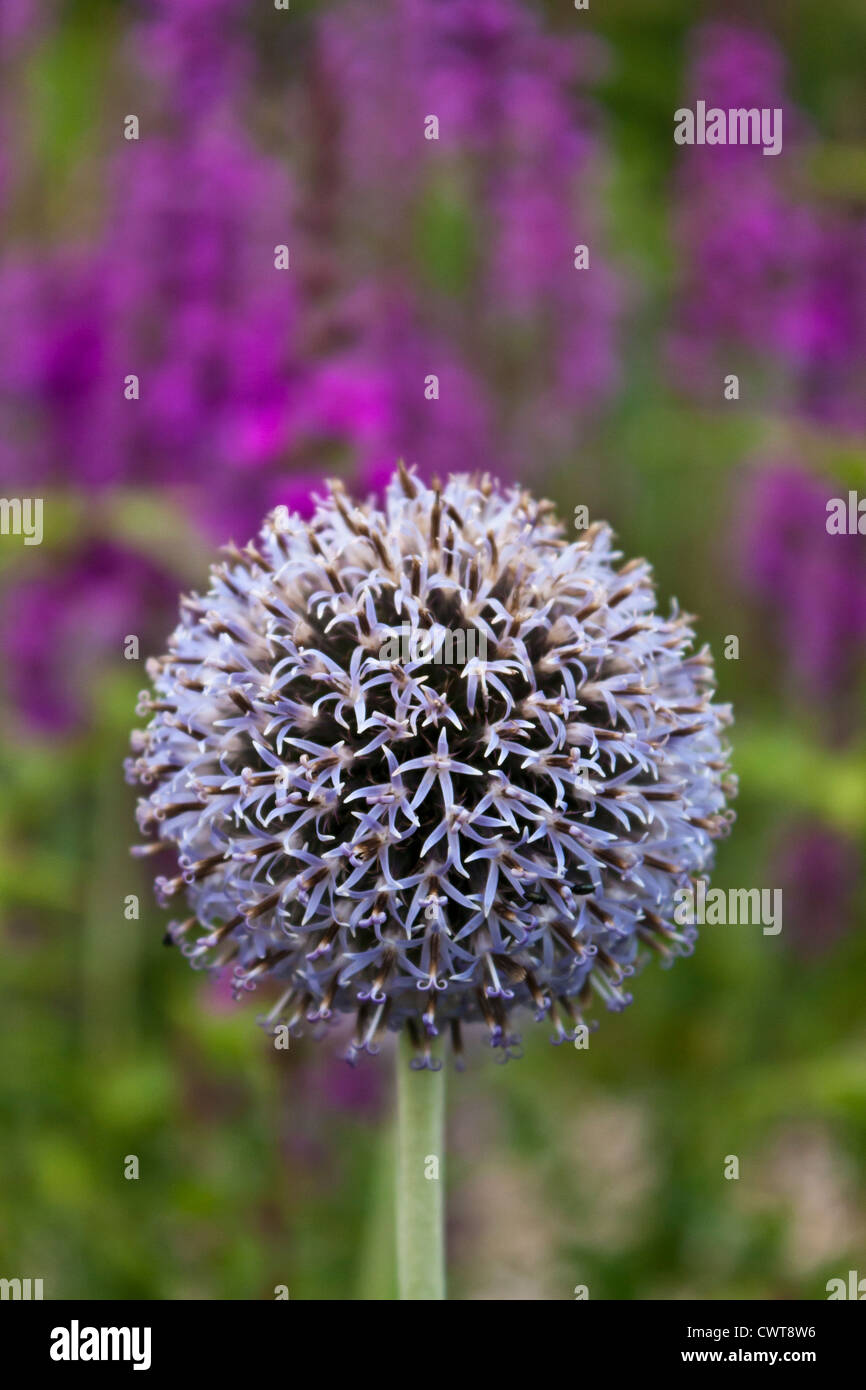 Detail of the head of the flowering globe thistle Echinops bannaticus. - Stock Image