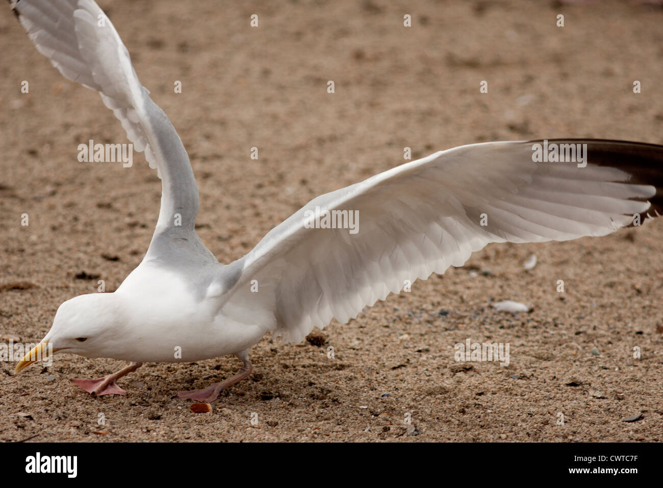 Seagull Bird landing on the ground with wings open. - Stock Image