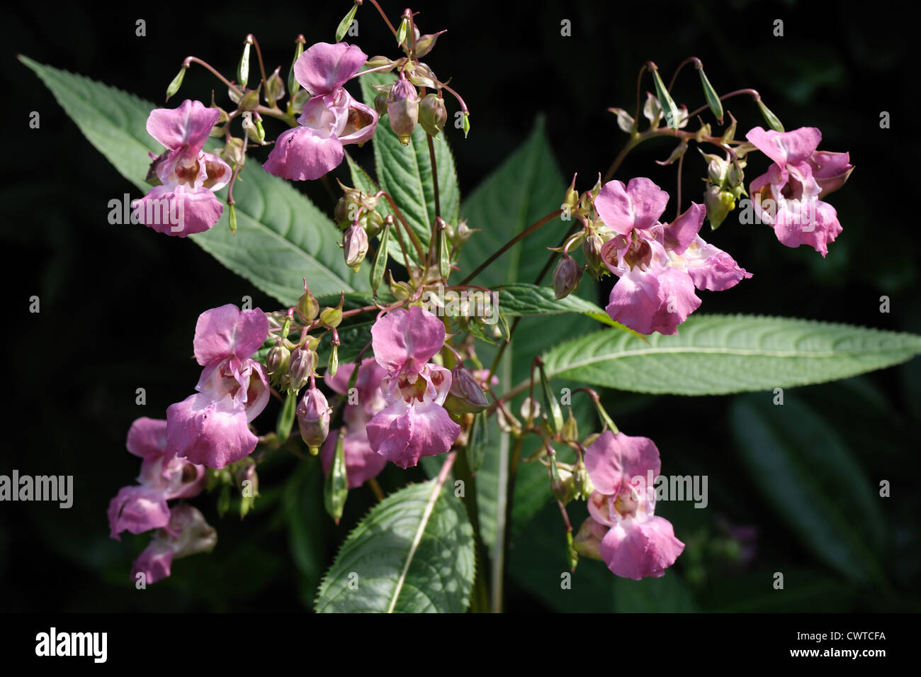 Himalayan balsam (Impatiens gladulifera) flowers, seedpods & leaves against a shadow background Stock Photo