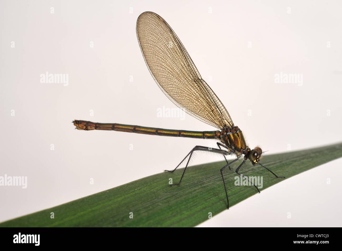 Beautiful demoiselle (Calopteryx virgo) female dragonfly on a leaf Stock Photo