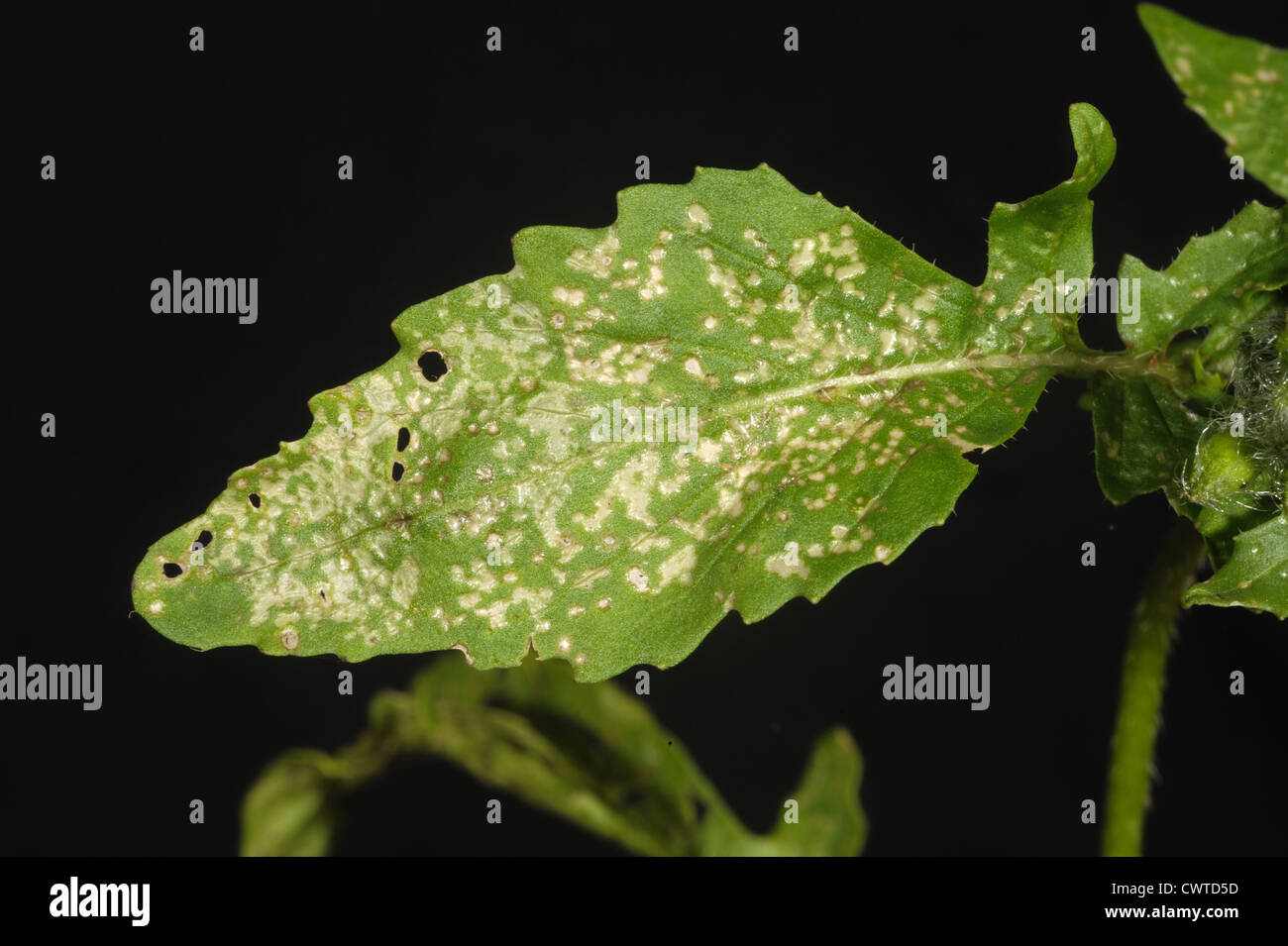 Thrips damage to the leaves of flowering rocket - Stock Image