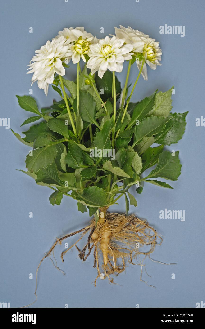 White Dahlia Plant Leaves Stock Photos White Dahlia Plant Leaves