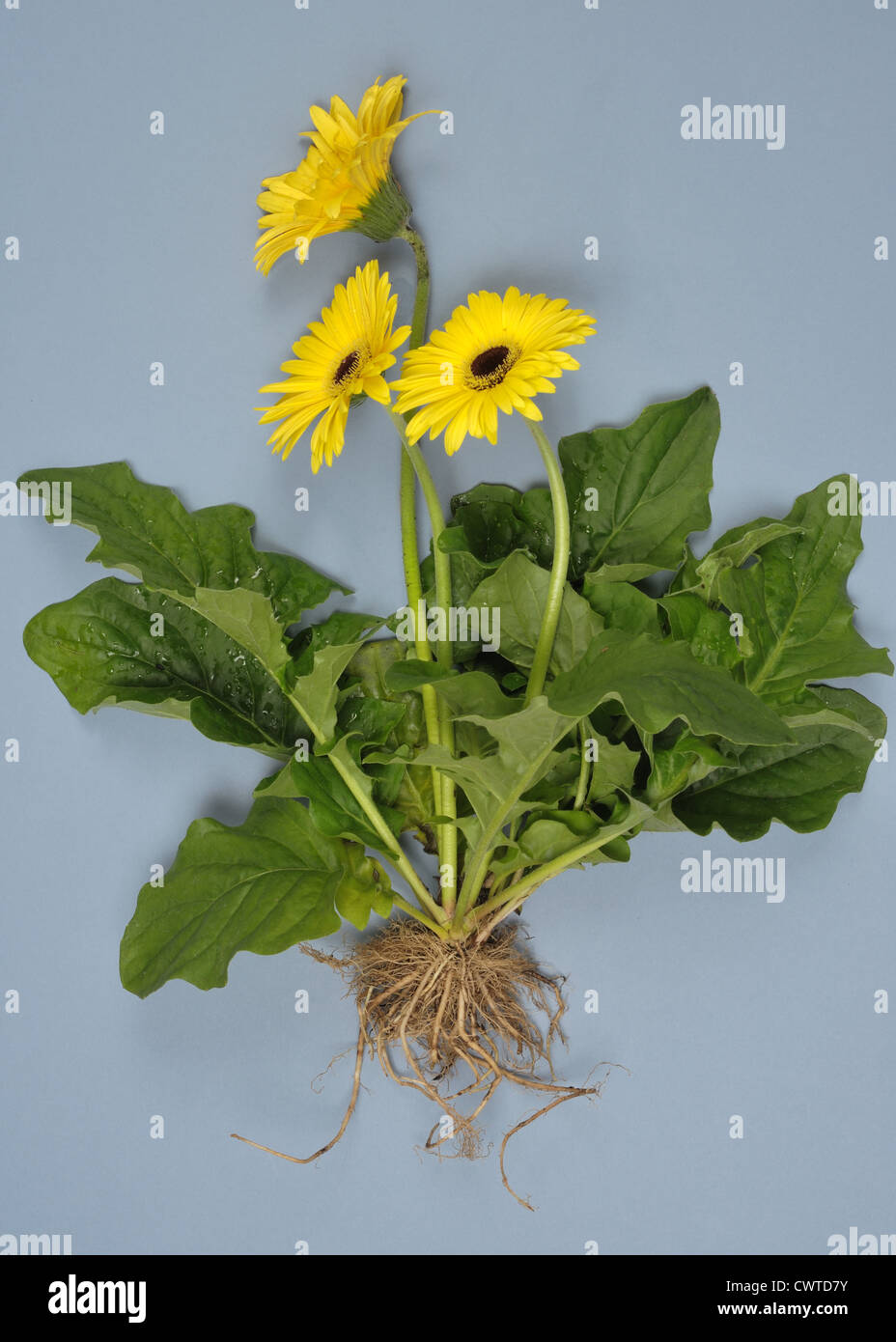 Gerbera leaves stock photos gerbera leaves stock images alamy gerbera plant with yellow flowers leaves and roots exposed to show plant structure stock izmirmasajfo
