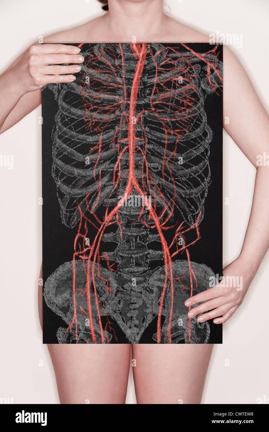 Human Cardiovascular System Stock Photos Human Cardiovascular