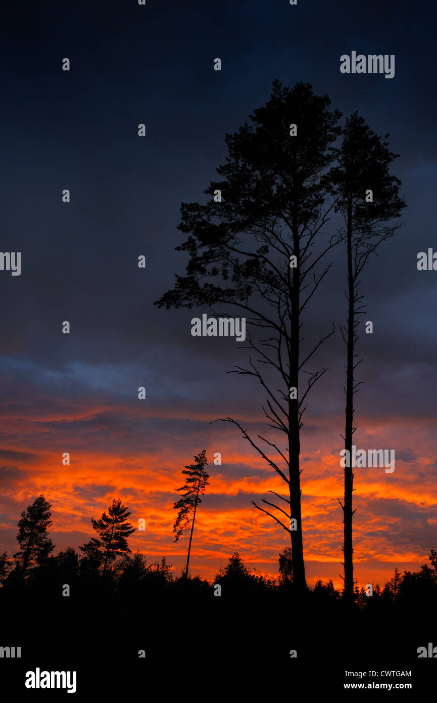 Pine in last beams of a sunset and low clouds. - Stock Image