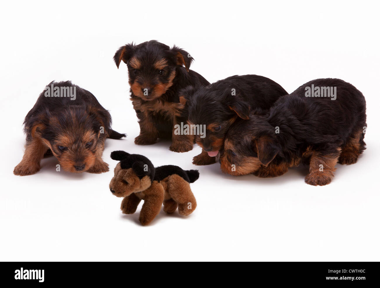 Four Yorkie puppies inspecting a soft dog toy Stock Photo