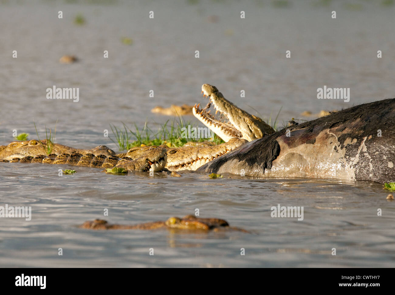Nile crocodiles feeding on the carcass of an african buffalo, Lake Manze, Selous Tanzania Africa - Stock Image
