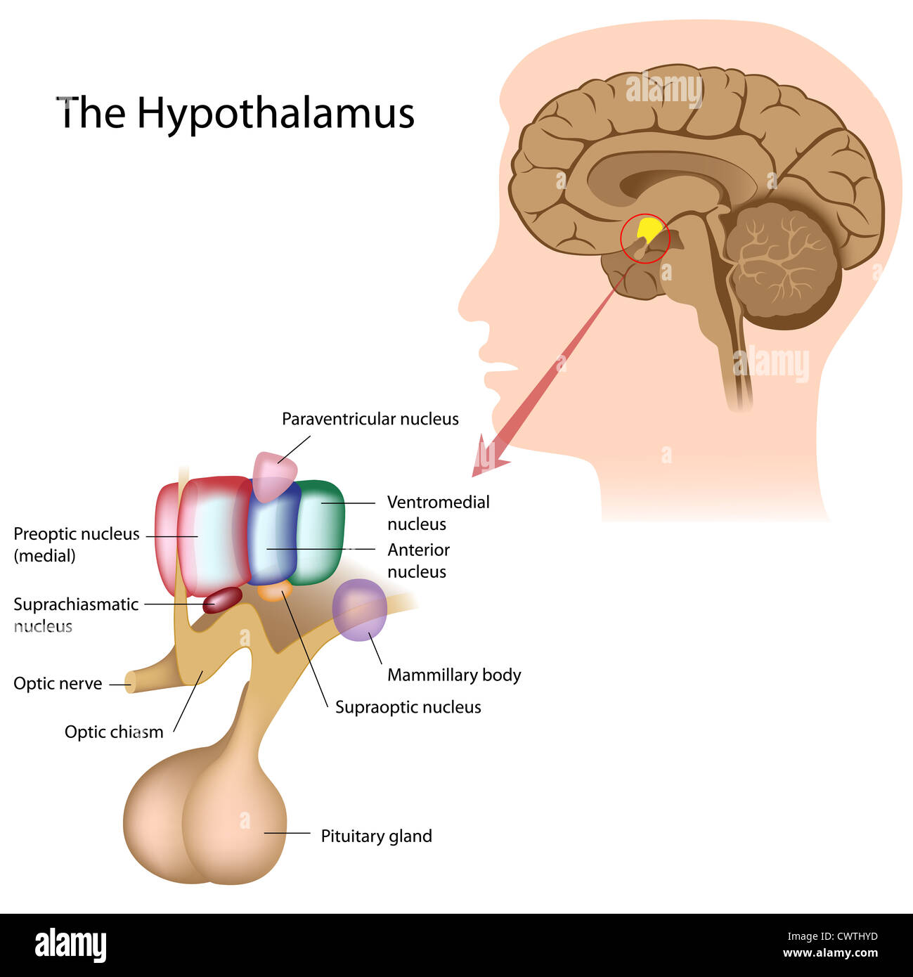 The nuclei of the hypothalamus - Stock Image