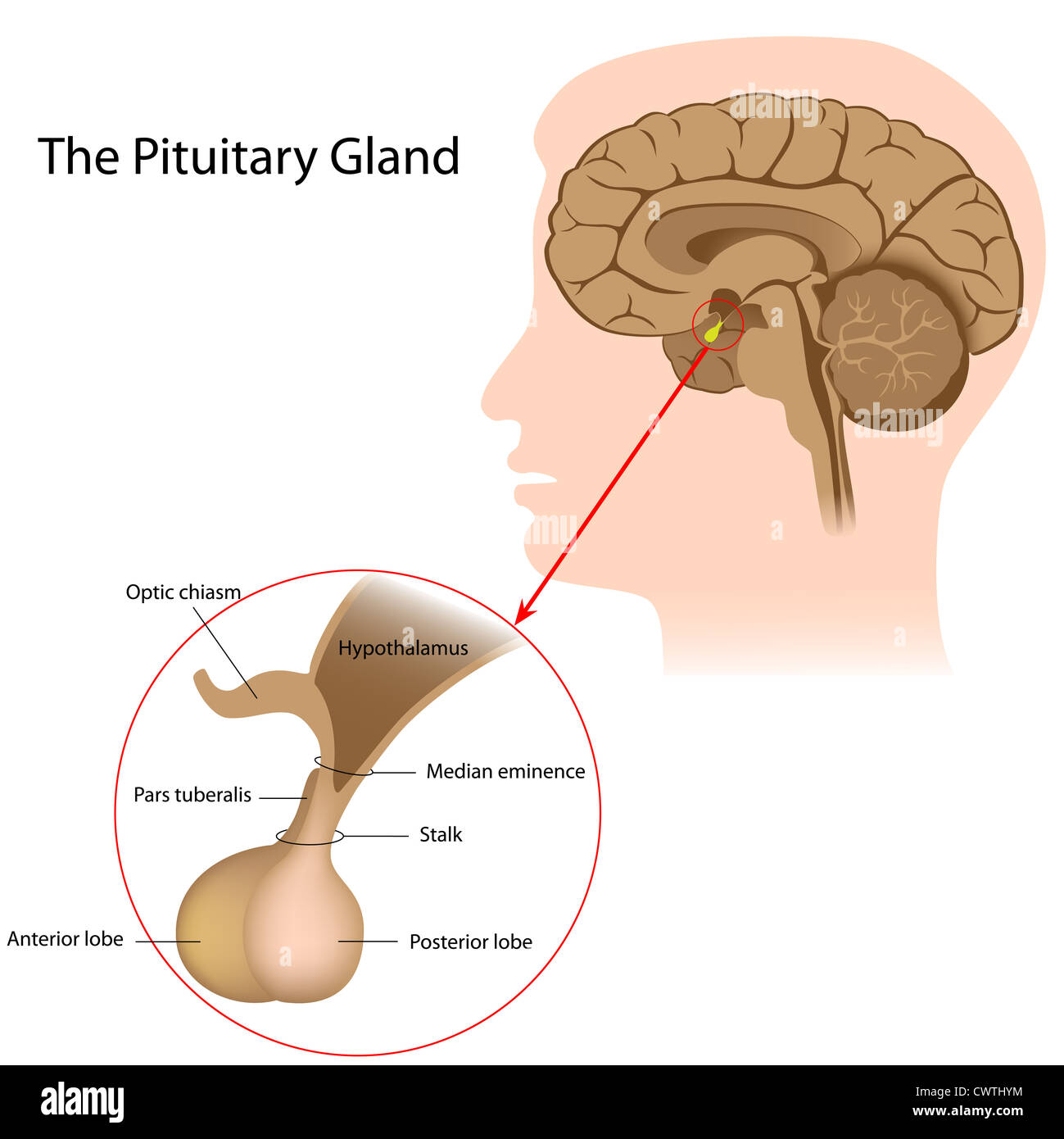 The Pituitary Gland Stock Photo 50328088 Alamy