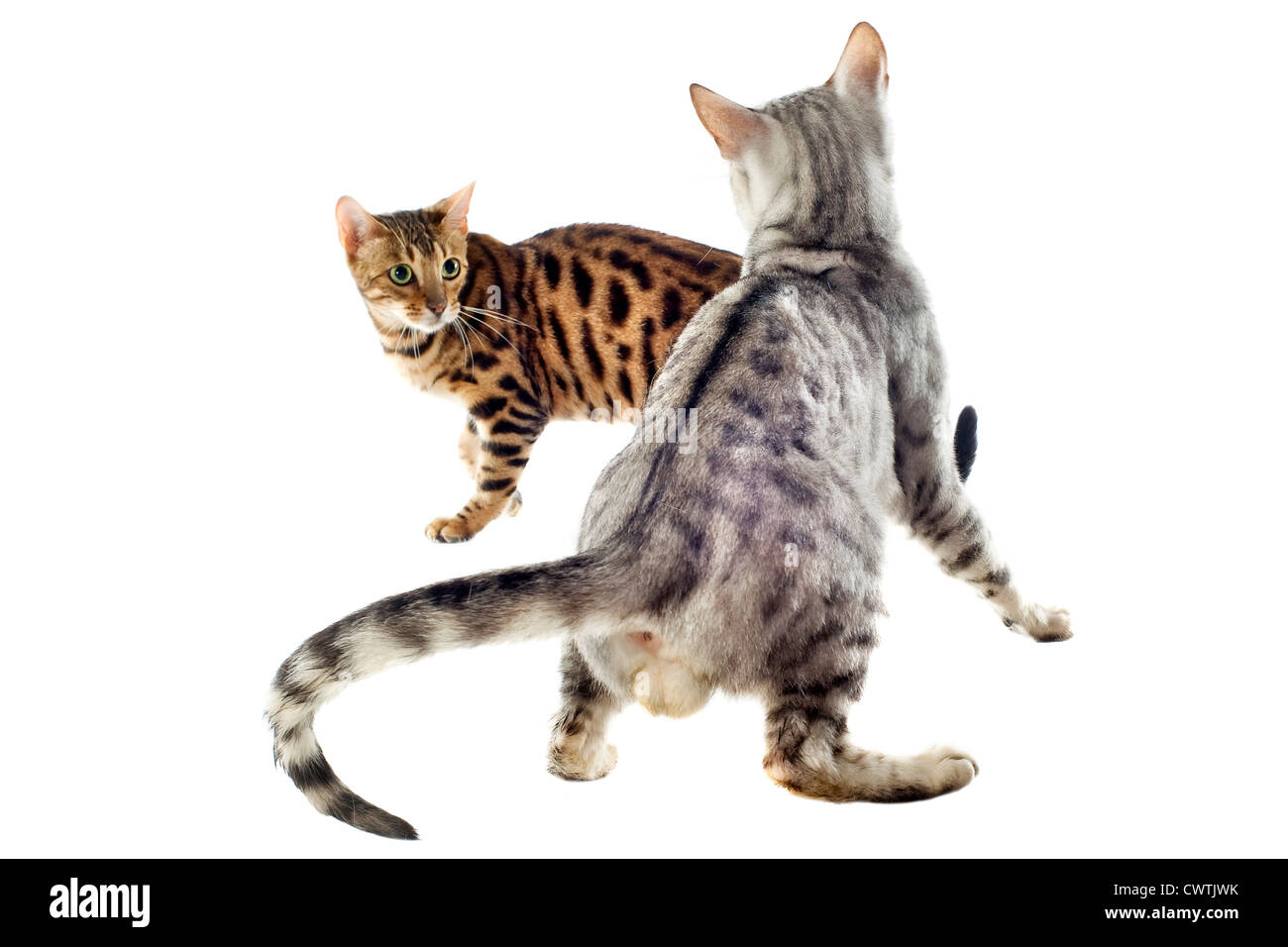 portrait of purebred bengal cats on a white background, focus on the firs cat - Stock Image