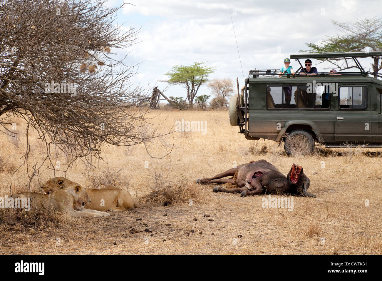 Tourists on a jeep safari watching lions and their kill, Selous Game reserve Tanzania Africa - Stock Image