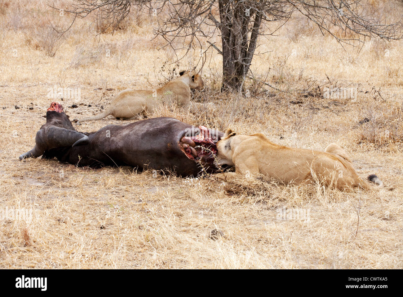 Lions eating a dead african buffalo kill, the Selous game reserve Tanzania Africa - Stock Image