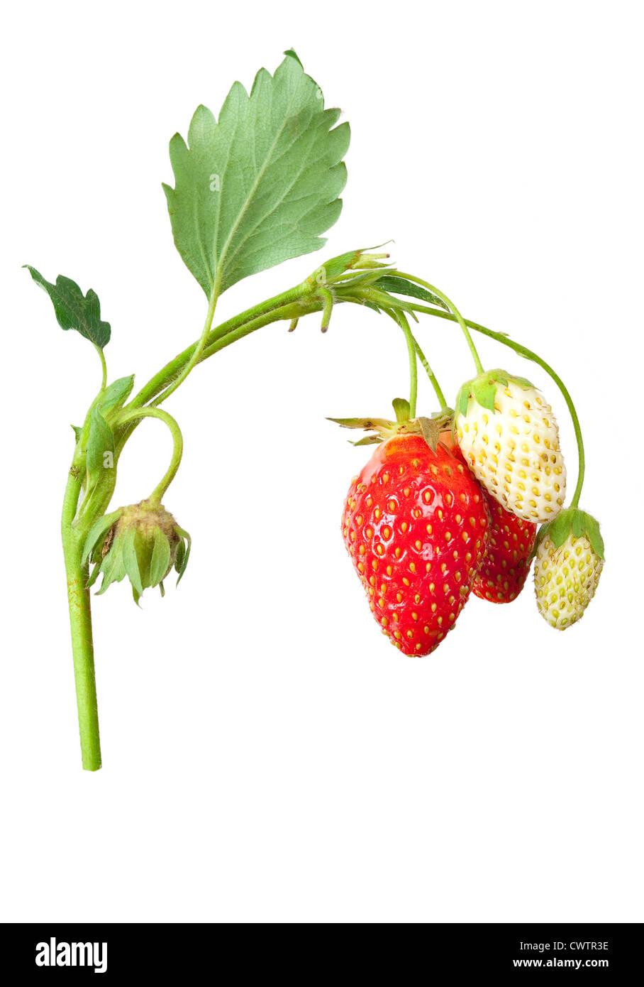 Unripe Strawberries Unripe Ripe Str...