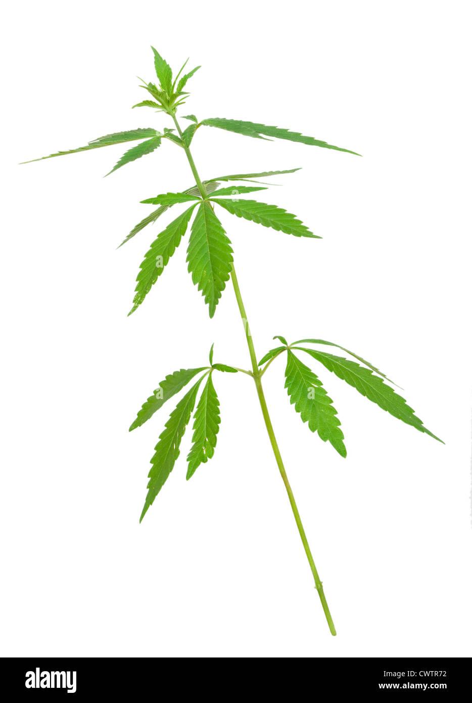 Cannabis plant - Stock Image