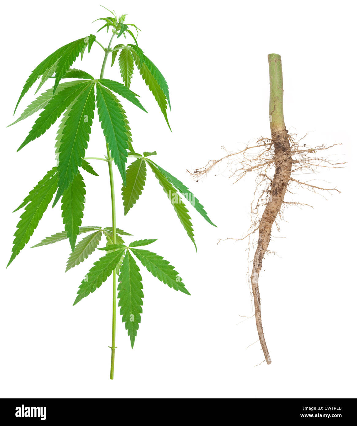 Cannabis with a root - Stock Image