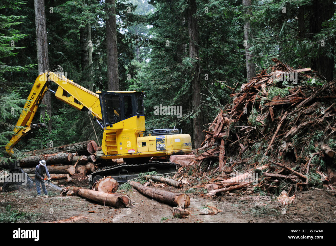 Logging and cutting of  tallest trees in the world, the Giant Sequoias in the Redwood forests of Northern California - Stock Image