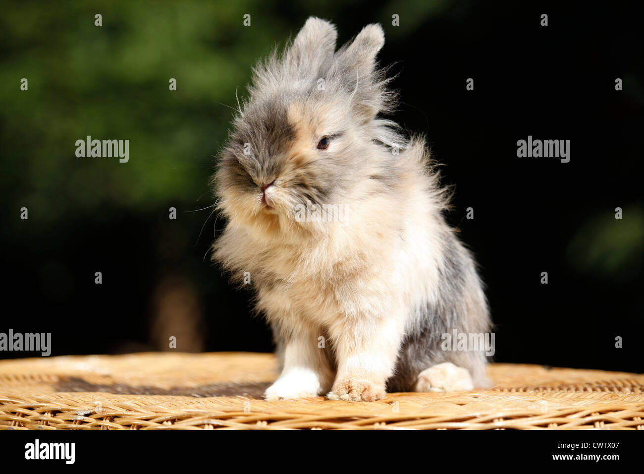Zwergkaninchen / pygmy bunny - Stock Image