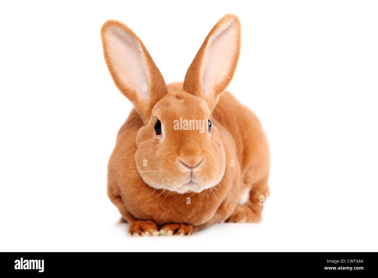 Kleinrex / Rex Bunny - Stock Image