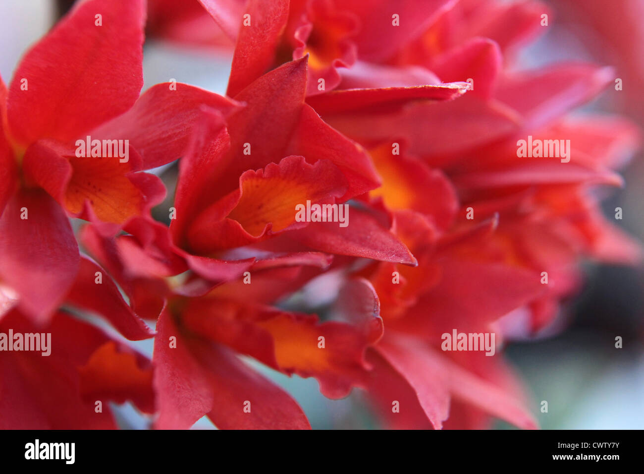 Red flower blossoms, close-up - Stock Image
