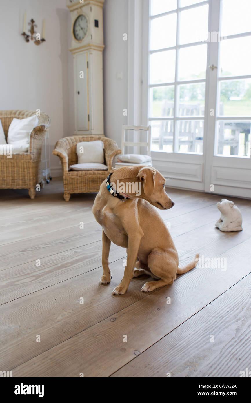 Dog sitting on living room floor - Stock Image