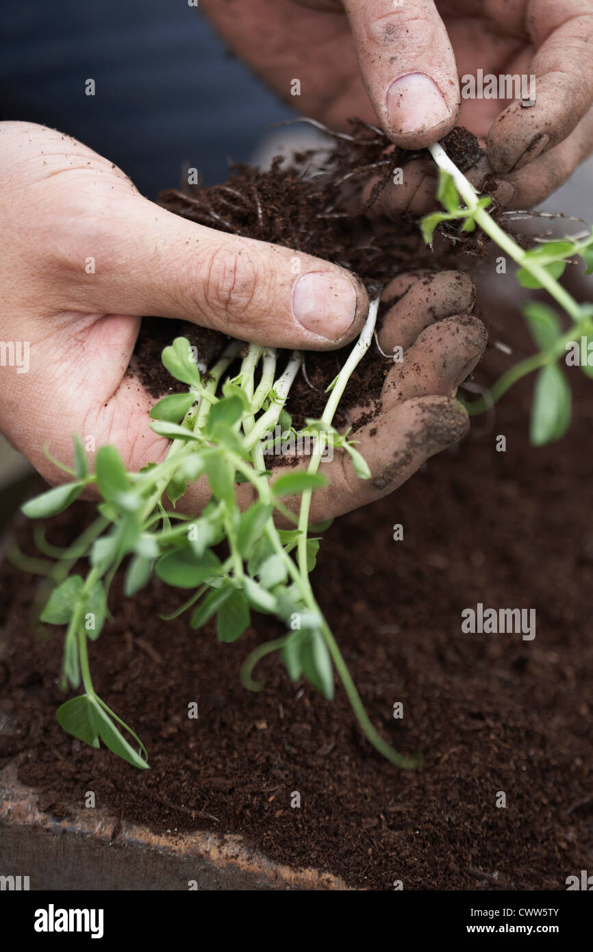Man separating and planting peas at allotment - Stock Image