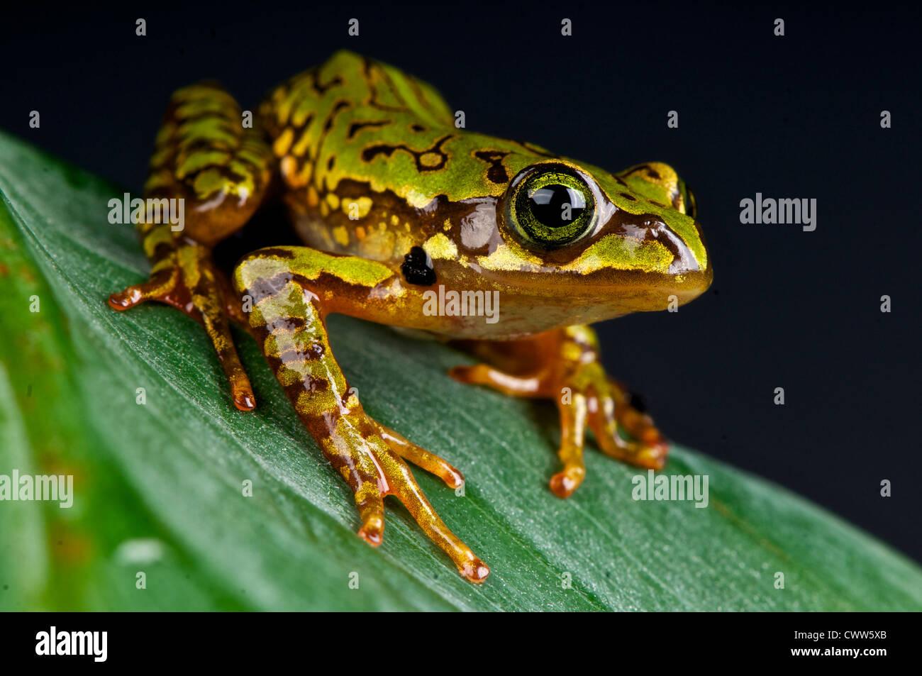 Marbled treefrog / Boophis microtympanum - Stock Image