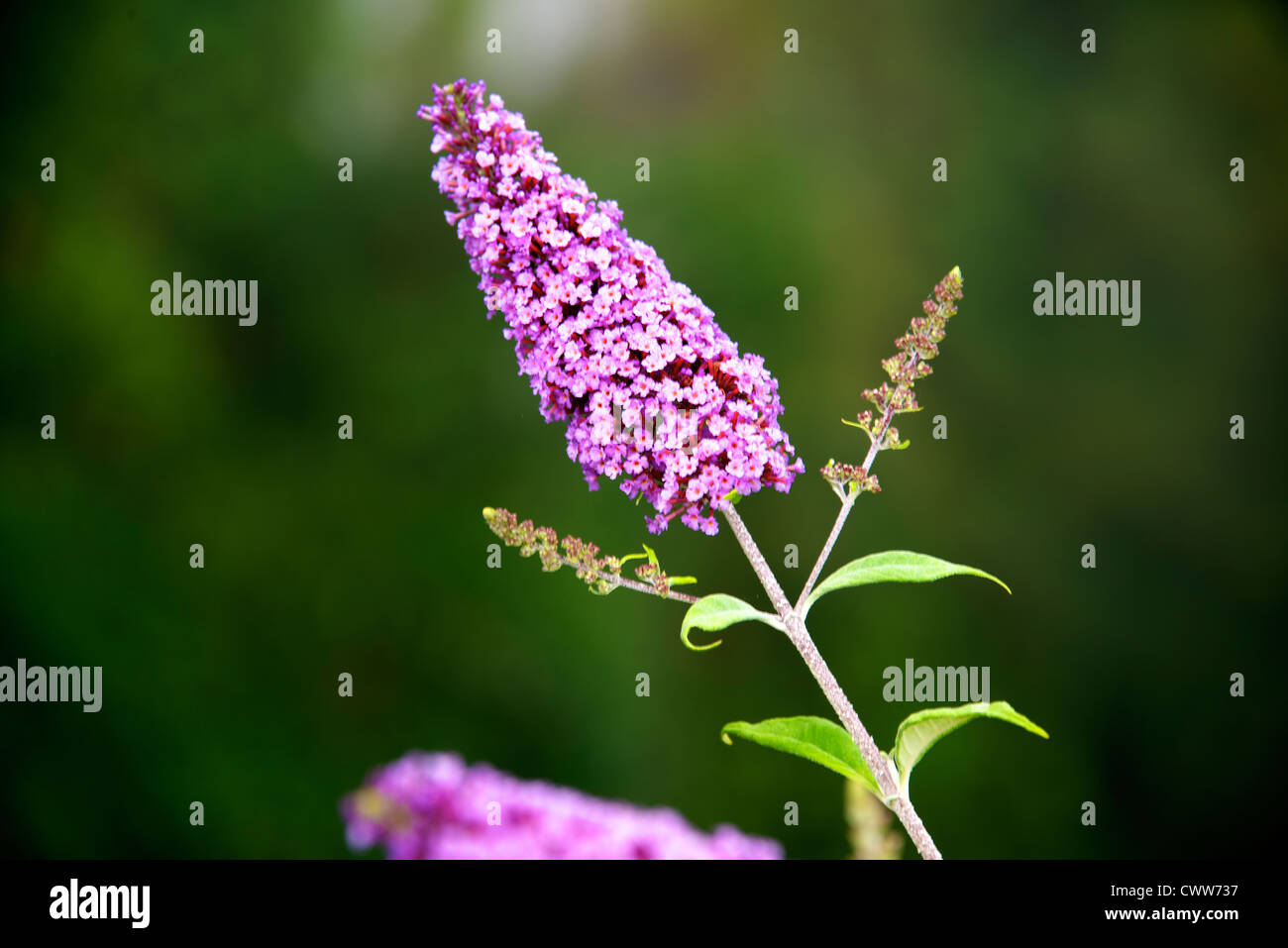 Buddleia growing on a cliffside of the Vallee de la Dordogne at Domme in the early morning sun in August - Stock Image