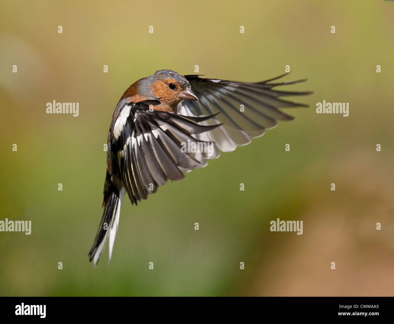A male chaffinch captured in flight - Stock Image