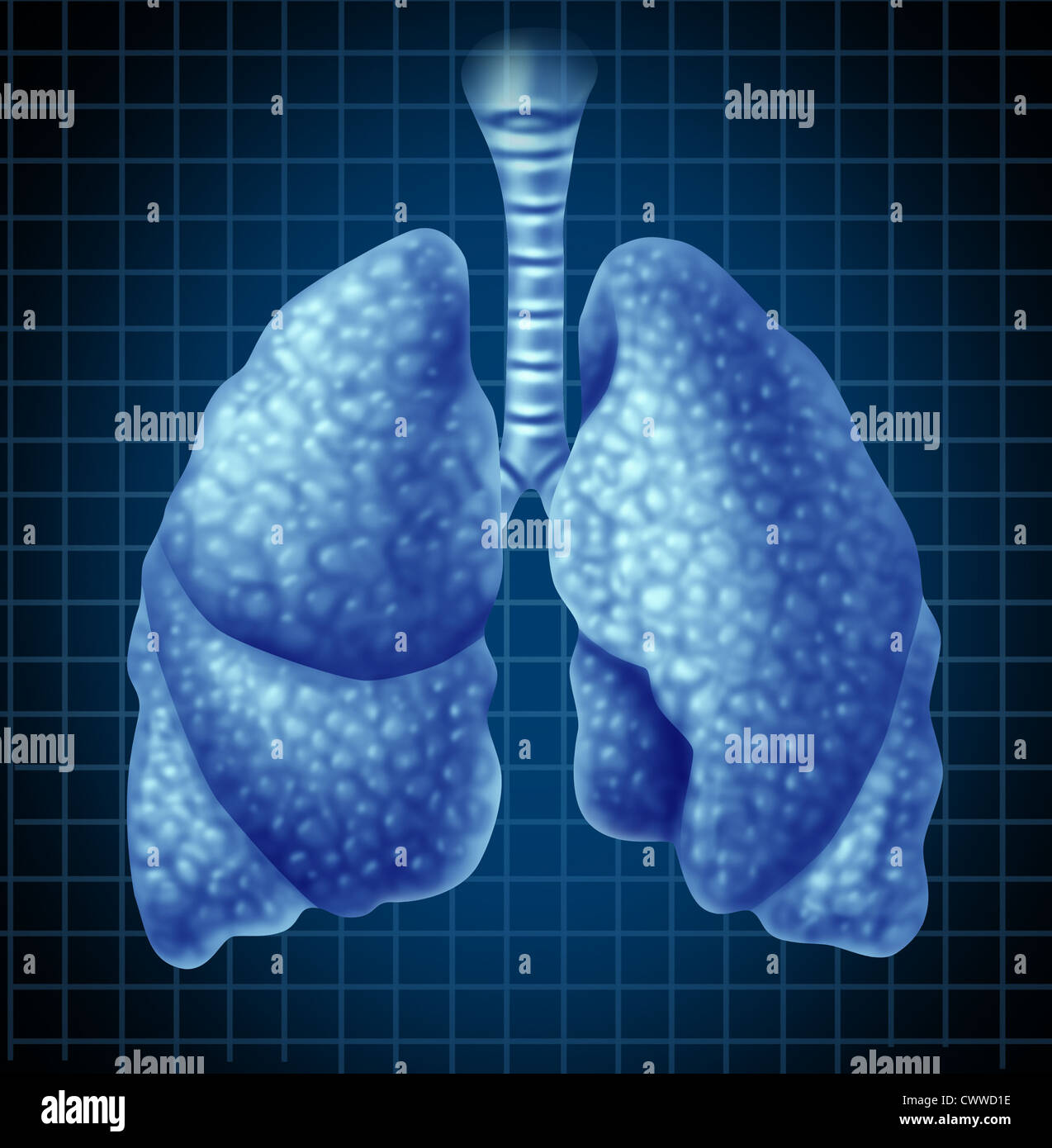 Human lungs organ as a medical health symbol representing the respiratory tract and breathing system showing the - Stock Image