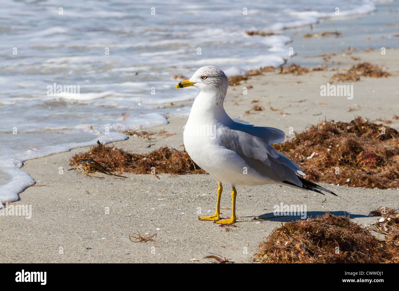 Seagull at waterline of sand beach at Reddington Shores, Florida - Stock Image