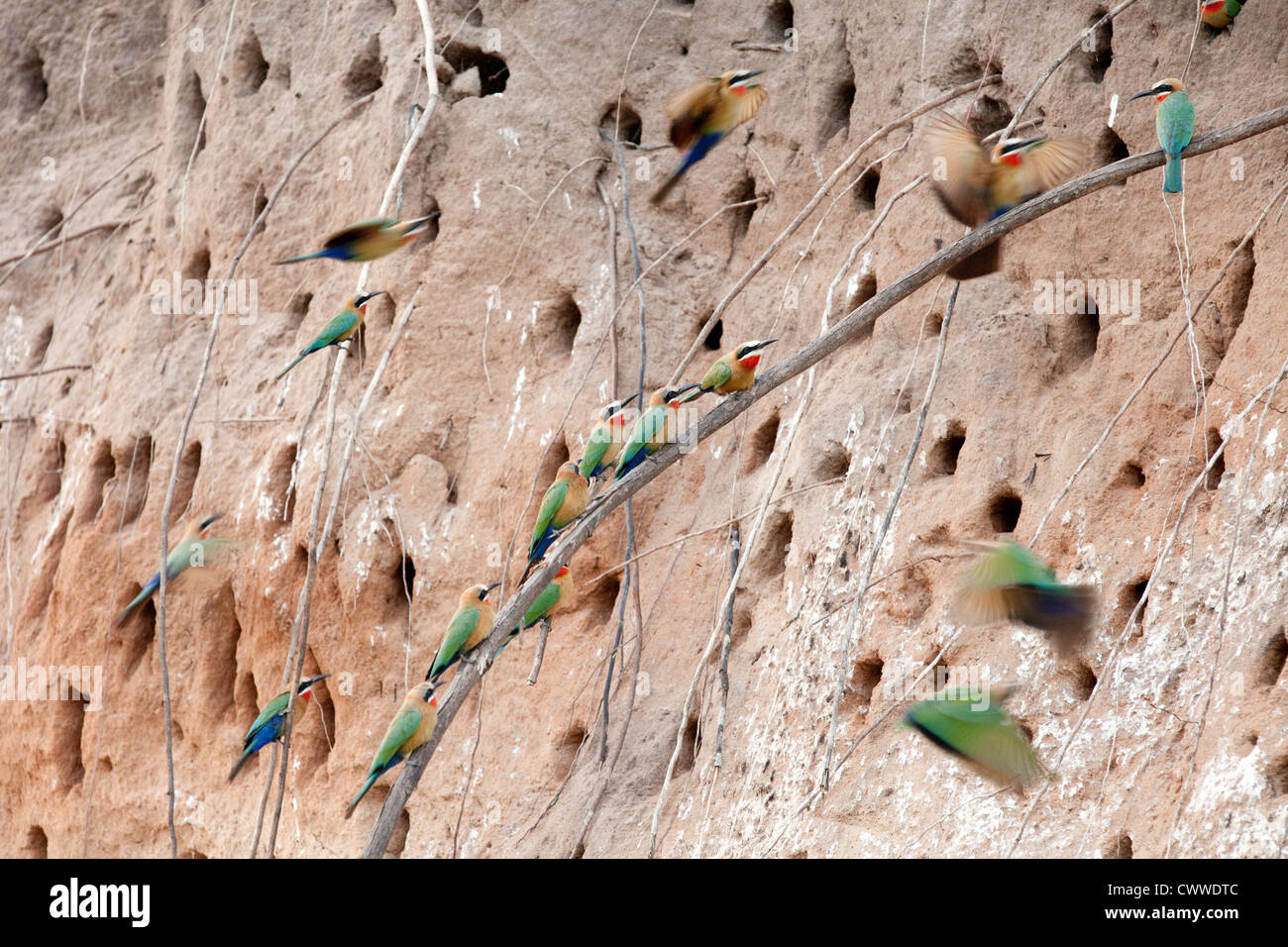 A nesting colony of White-fronted bee-eaters, (Merops bullockoides)  the Selous Game Reserve Tanzania Africa - Stock Image