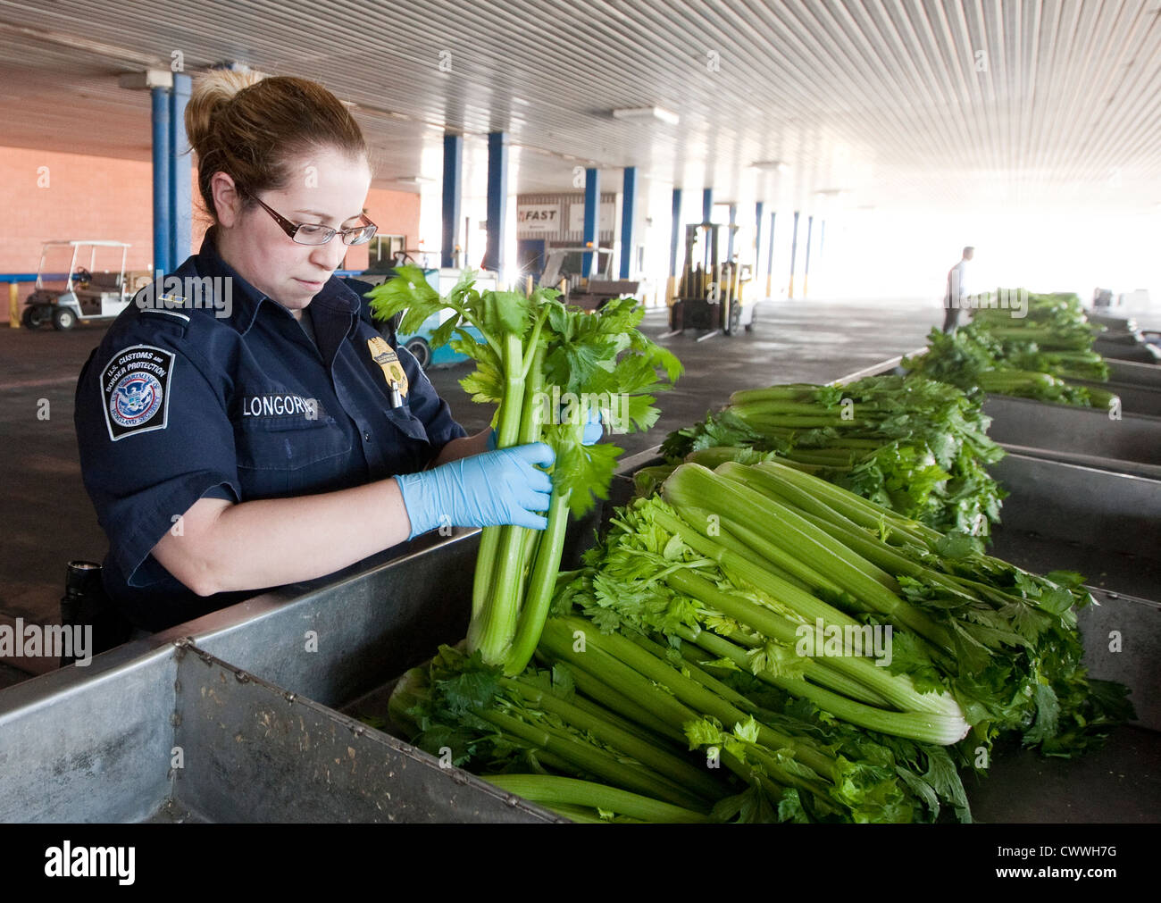 Female agriculture specialists for U.S Customs and Border Protection, inspect boxes of celery coming in from Mexico - Stock Image