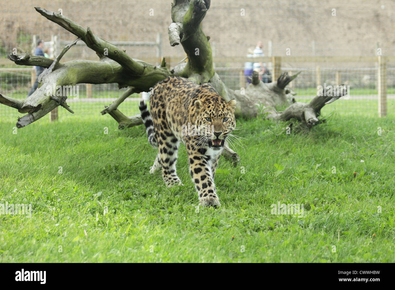 Amur leopard baring its teeth and walking towards the camera, in front of dead tree. - Stock Image