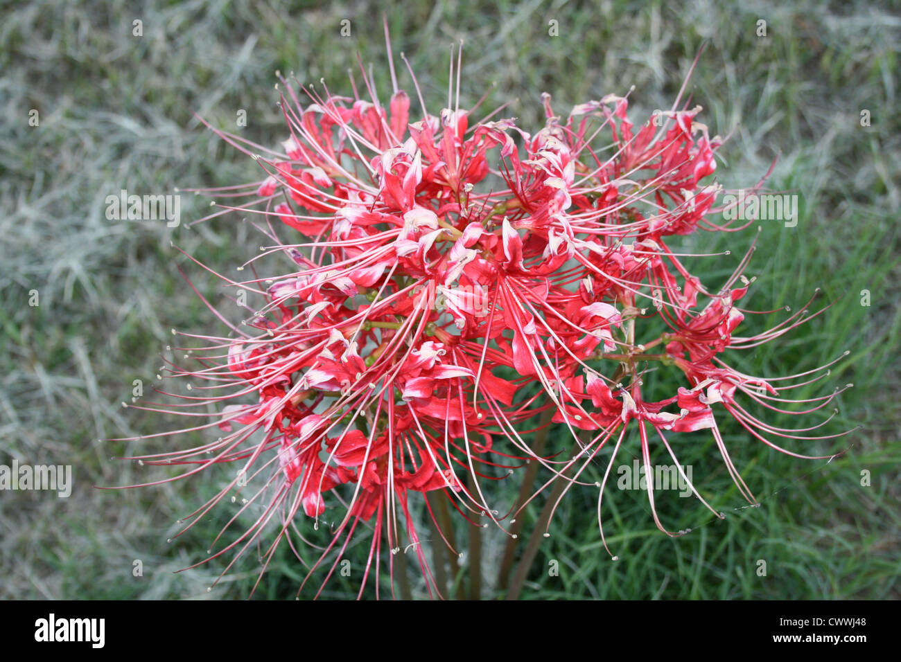 Red spider lily flower art photograph floral botanical flowers stock red spider lily flower art photograph floral botanical flowers photography izmirmasajfo
