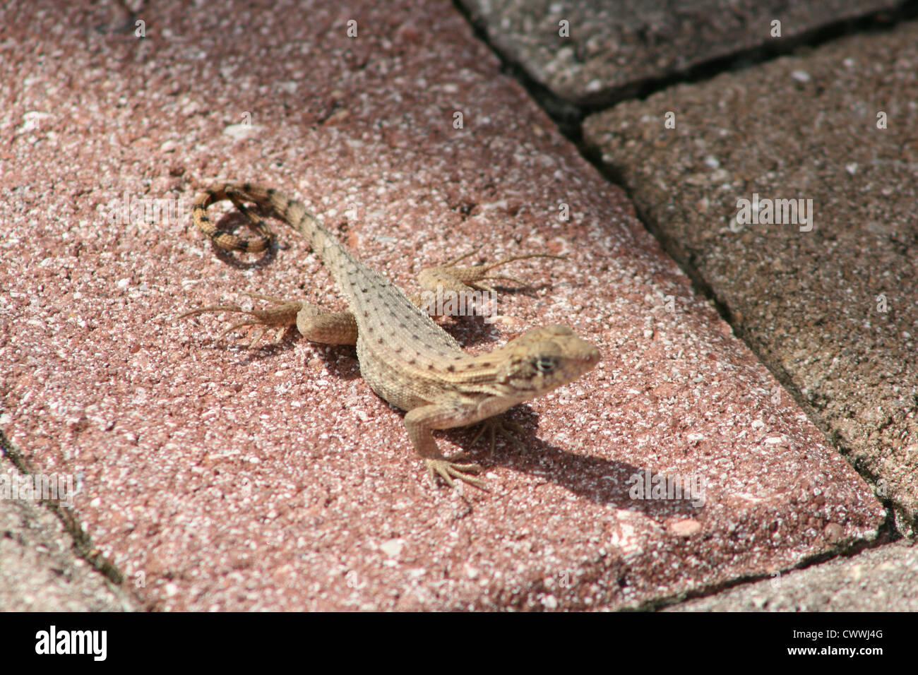 lizard brown cute animal closeup picture - Stock Image
