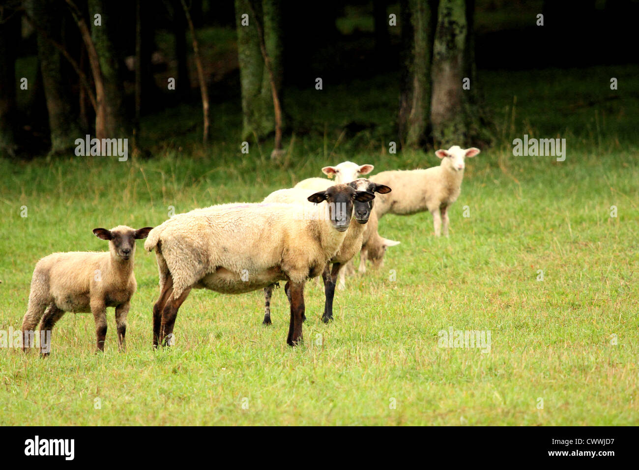 A group of sheep in a pasture. - Stock Image
