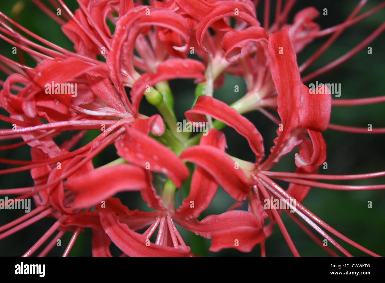 Red spider lily flower picture art print color reds photographic red spider lily flower picture art print color reds photographic photograph botanical prints of flowers izmirmasajfo Choice Image
