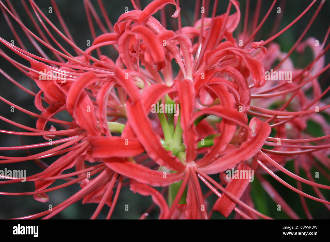 red spider lily lilies flower color photo art print picture Stock ...