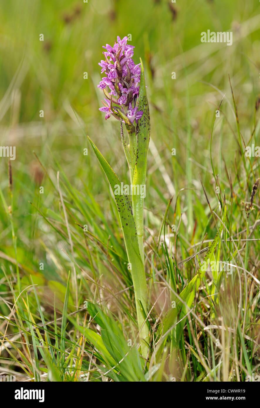 Flecked Marsh Orchid - Dactylorhiza incarnata cruenta Whole plant - Stock Image