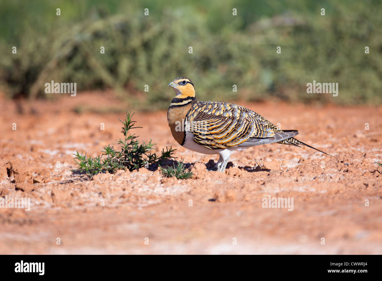 Pin Tailed Sandgrouse; Pterocles alchata; Spain; summer - Stock Image