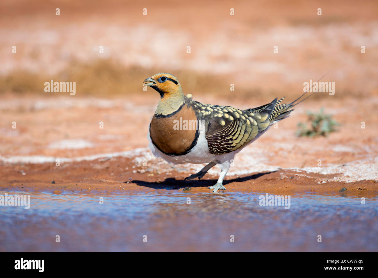 Pin Tailed Sandgrouse; Pterocles alchata;drinking at pool; Spain; summer - Stock Image