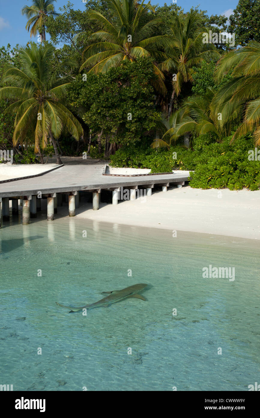 Shark swimming on tropical beach - Stock Image