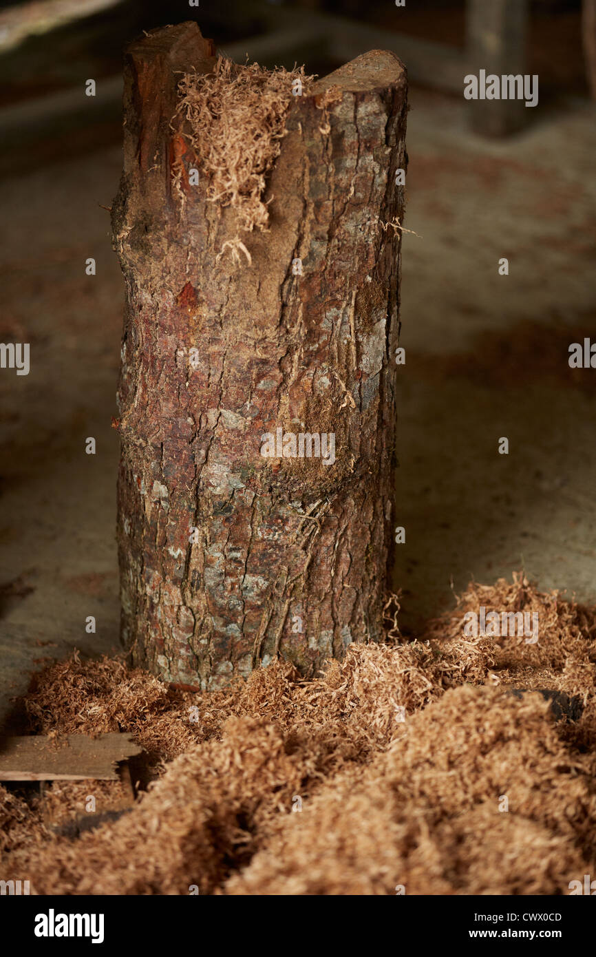 tree trunk stub branch wooden shavings concrete floor cutting wood chopping - Stock Image