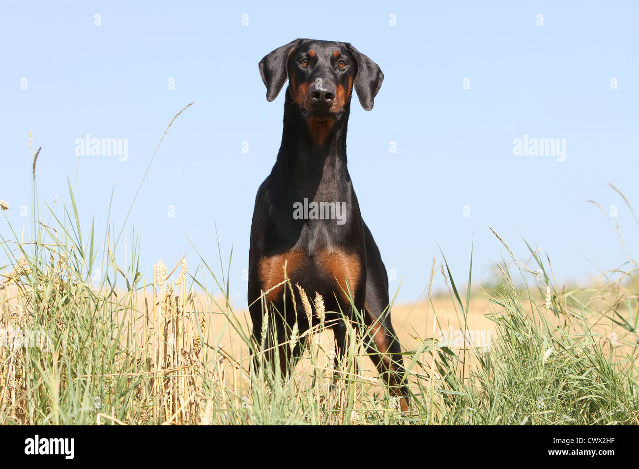 Dog Dobermann Pinscher Black and tan - Stock Image