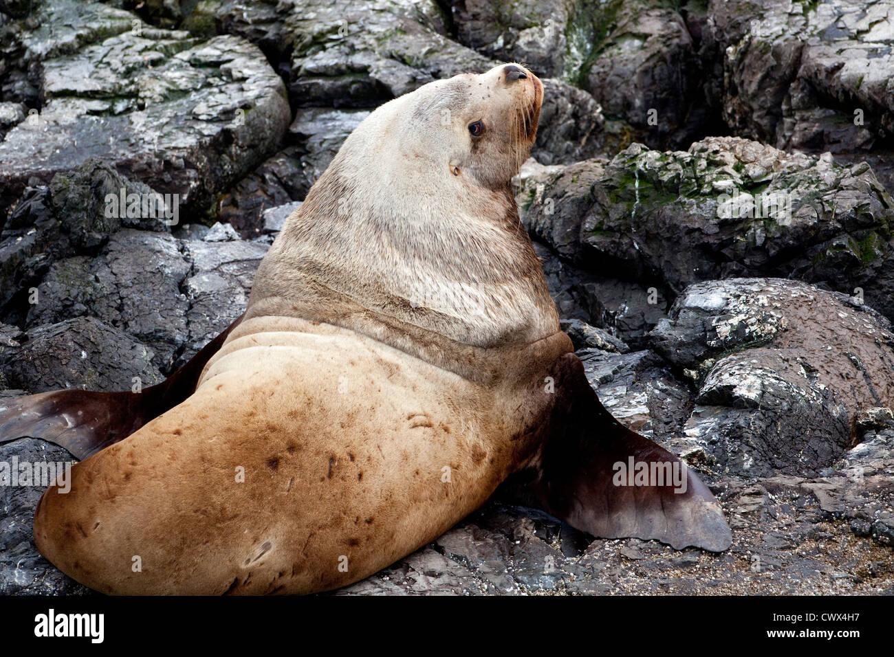 A large male Stellar Sea Lion (Eumetopias jubatus) hauled out on rocks along the coast of Alaska. - Stock Image